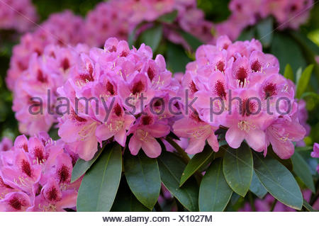 Rhododendron in flower - Stock Photo