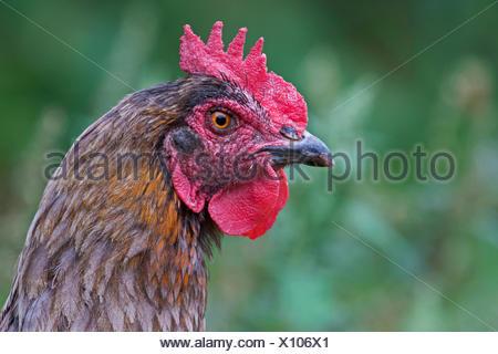 Domestic chicken, portrait, hen breed Marans - Stock Photo