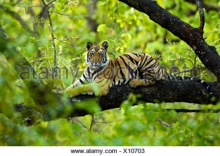 Adolescent male Bengal Tiger (around 15 months) resting up a tree. Bandhavgarh NP, Madhya Pradesh, India. Stock Photo