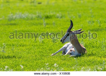 Springbok (Antidorcas marsupialis), male resting. During the rainy season in green surroundings - Stock Photo