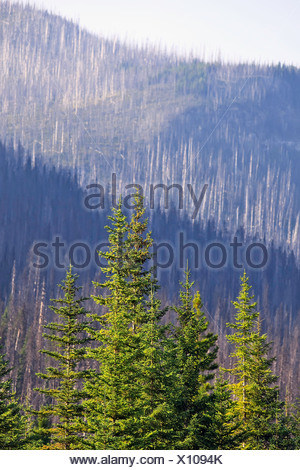 Forest renewal after 2003 Kootenay Wildfires, evidence of destruction in background, Marble Canyon, Kootenay National Park, BC - Stock Photo