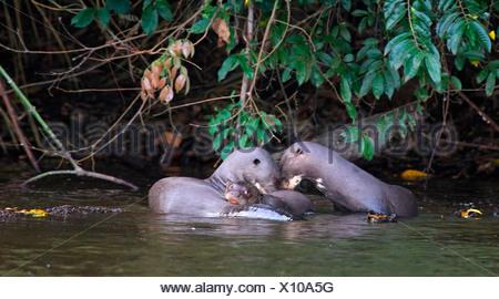 Giant Otter Family,  Pteronura brasiliensis Manu, Peru - Stock Photo