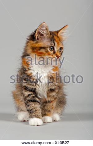 Siberian Forest Cat, kitten, 7 weeks - Stock Photo