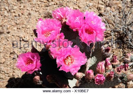 Beavertail Cactus (Opuntia basilaris), California, USA, North America - Stock Photo