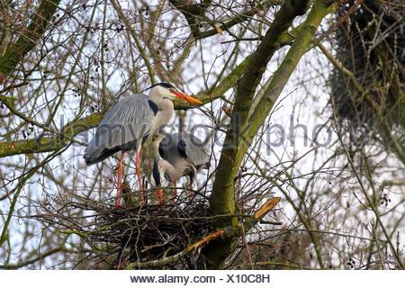 grey heron (Ardea cinerea), breeding pair at the nest, Germany - Stock Photo