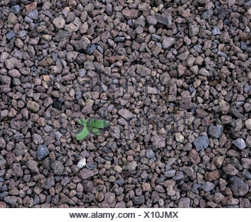 Solitary green plant growing out of igneous rock - Stock Photo