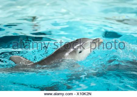 Young common bottlenose dolphin in a zoo - Stock Photo