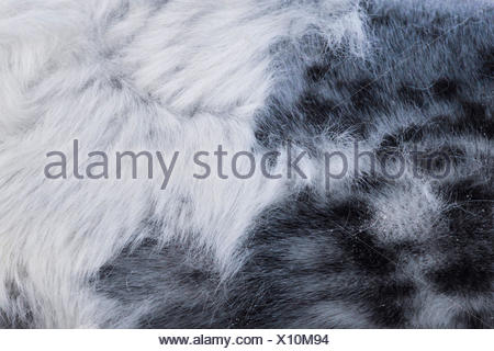 gray seal (Halichoerus grypus), pup changing the fur, detail, Germany, Schleswig-Holstein, Heligoland - Stock Photo