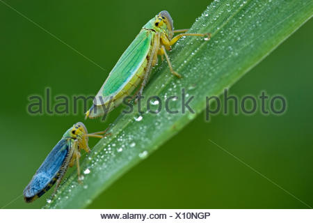 blue macro close-up macro admission close up view waters animal insect green eye organ wildlife blade fresh water pond water - Stock Photo