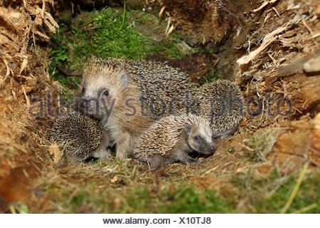 European Hedgehog (Erinaceus europaeus) with young, 19 days, in the nest in an old tree stump, Allgäu, Bavaria, Germany - Stock Photo
