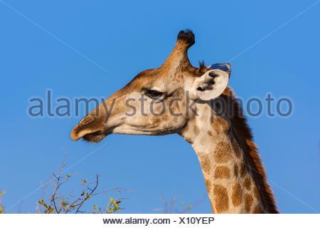 Southern giraffe (Giraffa giraffa). Okavango Delta, Botswana, Africa. - Stock Photo