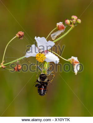 A green lynx spider, Peucetia viridans, preying on a bee. - Stock Photo