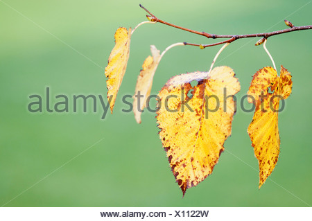 Betula pendula, Birch, Silver birch, Yellow, Green. - Stock Photo