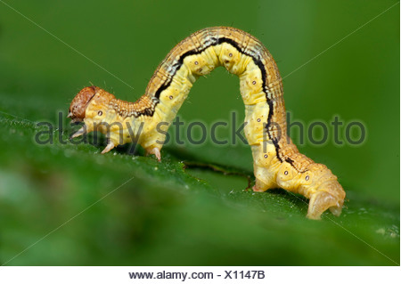 Mottled Umber Moth Caterpillar larvae Erannis defoliaria UK - Stock Photo