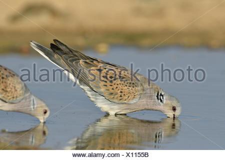 Turtle Dove - Streptopelia turtur - Stock Photo