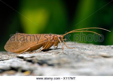 Caddisfly (Micropterna sequax), on a stone, Germany - Stock Photo