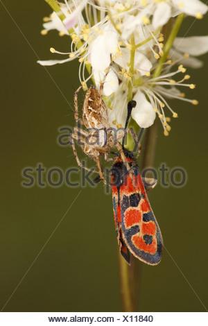 Nursery-web Spider Pisaura mirabilis adult feeding on Auspicious Burnet Moth Zygaena fausta prey Causse de Gramat Massif - Stock Photo