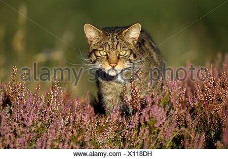 Scottish Wildcat Felis sylvestris Adult pure bred male stalking prey in heather Cairngorms National Park Scotland UK - Stock Photo