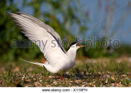 Common tern (Sterna hirundo), mating male, Netherlands, Texel - Stock Photo