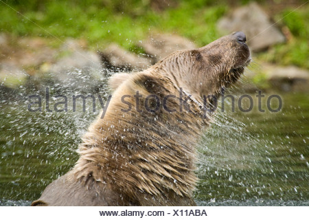 Grizzly shakes head to clear water while swimming at Wolverine Creek on  Big River Lakes in Southcentral Alaska during Summer - Stock Photo
