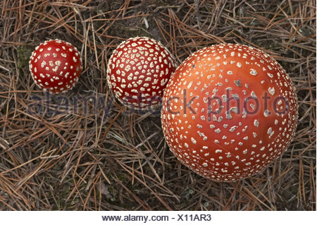 fly agaric (Amanita muscaria), from above, Germany - Stock Photo