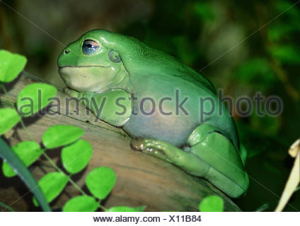 Green Tree Frog White's Treefrog (Litoria caerulea, Hyla caerulea, Pelodryas caerulea), on a branch, Australia - Stock Photo