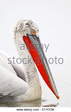 Dalmatian pelican (Pelecanus crispus), breeding plumage, portrait of the head, Greece, Kerkinisee - Stock Photo