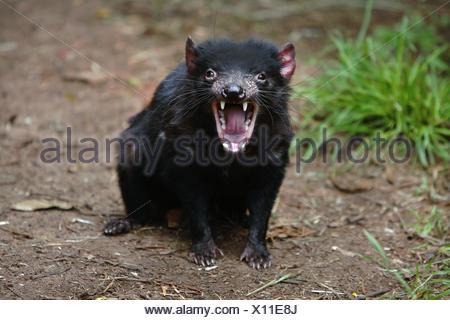 Tasmanian Devil Sarcophilus harrisii at Trowunna Wildlife Sanctuary Tasmania, Australia - Stock Photo