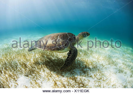 Green Turtle (Chelonia Mydas) looks for seagrass foraging grounds in the shallows of Akumal Bay, Mexico - Stock Photo