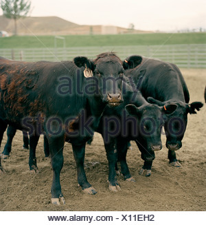 Black cows in a pen on a ranch - Stock Photo