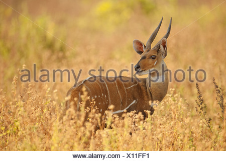 Mole National Park Ghana Bushbuck male Tragelaphus scriptus Ghana - Stock Photo