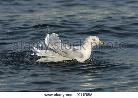 Ring-billed Gull Larus delawarensis - Stock Photo