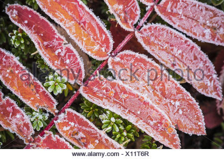 frost covered Rowan leaves, Lapland, Sweden - Stock Photo