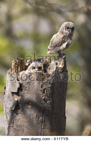 zoology / animals, avian / bird, Tawny Owl, (Strix aluco), two owls sitting on tree trunk, distribution: Europe, Asia, Additional-Rights-Clearance-Info-Not-Available - Stock Photo