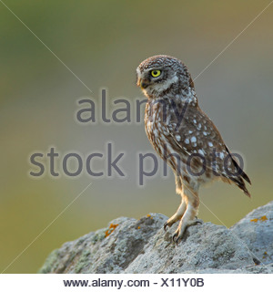 little owl (Athene noctua), sittin on a rock, Greece, Lesbos - Stock Photo