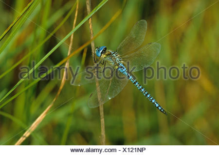 Migrant spreadwing, Southern emerald damselfly (Lestes barbarus), male on a stem, view from above, Germany - Stock Photo