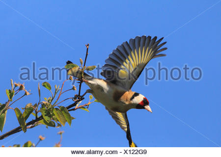 Eurasian goldfinch (Carduelis carduelis), taking off from a twig, Germany - Stock Photo