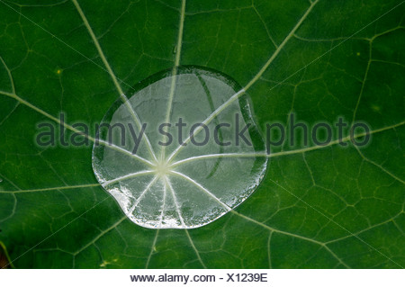 Water droplet on a leaf of a Garden Nasturtium or Indian Cress (Tropaeolum majus), North Tirol, Austria, Europe - Stock Photo