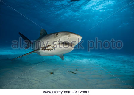 Two fishing hooks dangle from the corner of a tiger shark's mouth as it plies the waters of the Bahamas. - Stock Photo