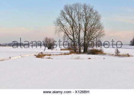Grey Willow (Salix cinerea) at outer marches during winter, snow on the outer marches, The Netherlands, Overijssel, Nationaal Landschap IJsseldelta - Stock Photo