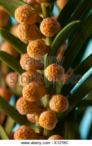 English Yew or Common Yew (Taxus baccata), male flowers, Hesse, Germany - Stock Photo