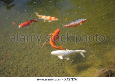 Koi-fishes - Stock Photo