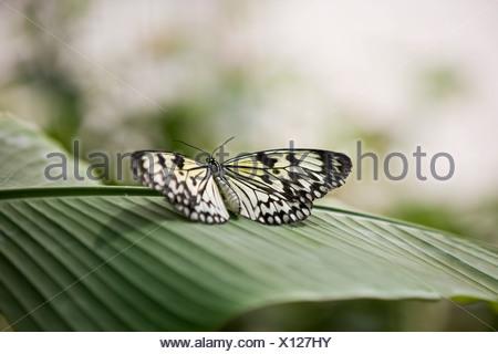 A Malabar Tree Nymph butterfly,  Idea malabarica on a leaf - Stock Photo