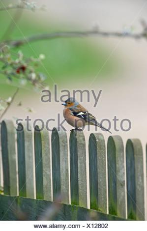 Chaffinch Fringilla coelebs male on garden fence UK spring - Stock Photo