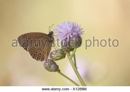 Ringlet (Aphantopus hyperantus), Germany - Stock Photo