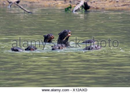 giant otter (Pteronura brasiliensis), family gathering, Brazil, Mato Grosso, Pantanal, Rio Cuiaba - Stock Photo