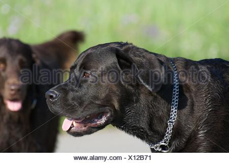 Close-Up Of Dogs On Field - Stock Photo