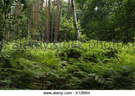 bracken fern (Pteridium aquilinum), on a clearing, Germany, Hesse - Stock Photo