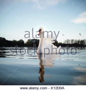 Portrait of swan swimming on lake - Stock Photo