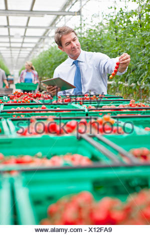 Businessman with digital tablet inspecting ripe red vine tomatoes in greenhouse - Stock Photo